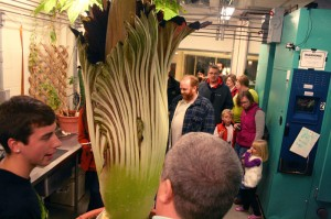 "A long line waits to view ""Perry,""  Gustavus Adolphus College's corpse flower, on November 1. This corpse flower has been blooming about once every three years. During its blooming cycle, the plant emits a strong odor, similar to the smell of rotting flesh. Metro Lutheran photo: Bob Hulteen"